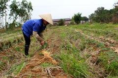 Cipolla del raccolto dell'agricoltore nel campo Immagine Stock Libera da Diritti