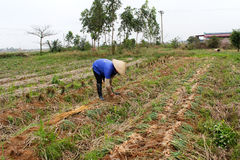 Cipolla del raccolto dell'agricoltore nel campo Immagine Stock