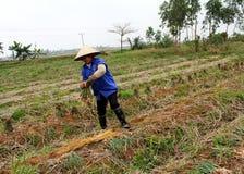 Cipolla del raccolto dell'agricoltore nel campo Fotografia Stock
