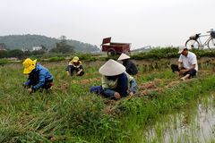 Cipolla del raccolto dell'agricoltore nel campo Fotografie Stock Libere da Diritti