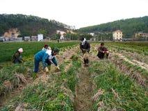 Cipolla del raccolto dell'agricoltore nel campo Fotografie Stock