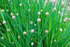 Cipolla della erba cipollina Immagini Stock Libere da Diritti