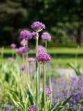 Cipolla di cristophii dell'allium o stella persiana di Persia che fiorisce in primavera Immagine Stock
