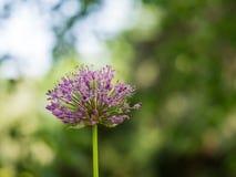 Cipolla di cristophii dell'allium o stella persiana di Persia che fiorisce in primavera Immagini Stock