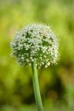 Cipolla di fioritura - allium cepa Immagine Stock Libera da Diritti