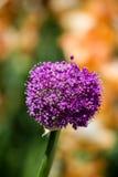Cipolla di fioritura gigante (giganteum dell'allium) Immagini Stock Libere da Diritti