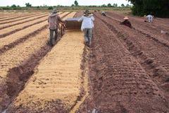cipolla di nordest Tailandia dell'azienda agricola Fotografia Stock Libera da Diritti