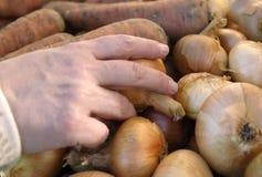 Cipolla di raccolto della mano Immagine Stock