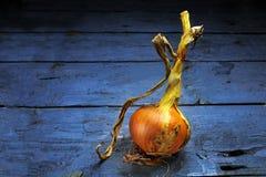 Cipolla dorata dal giardino su legno blu rustico Immagine Stock
