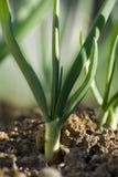 Cipolla fresca in giardino Fotografia Stock Libera da Diritti