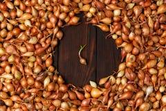 Cipolla gialla, piantina, fondo crescente delle cipolle Molto crescita o Fotografie Stock Libere da Diritti