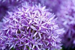 Cipolla gigante (allium Giganteum) che fiorisce in un giardino Fotografie Stock