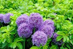 Cipolla gigante (allium Giganteum) che fiorisce in un giardino Fotografie Stock Libere da Diritti