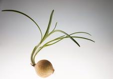 Cipolla grezza matura con i germogli freschi verdi Immagine Stock