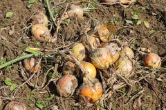 Cipolla organica sulla terra Immagine Stock