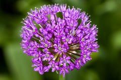 Cipolla ornamentale (allium) Fotografia Stock