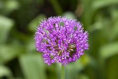 Cipolla ornamentale (allium) Fotografie Stock Libere da Diritti