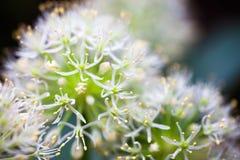 Cipolla ornamentale bianca di fioritura (allium) Fotografie Stock Libere da Diritti