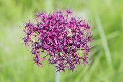 Cipolla ornamentale di colore porpora (bulgaricum dell'allium) in un giardino botanico a Goettingen, Germania Immagini Stock