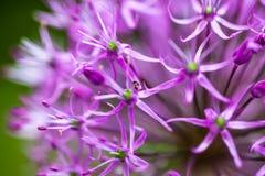Cipolla ornamentale di fioritura (allium) Immagini Stock