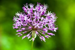 Cipolla ornamentale di fioritura (allium) Fotografia Stock