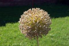 Cipolla ornamentale gigante (giganteum dell'allium) Immagini Stock