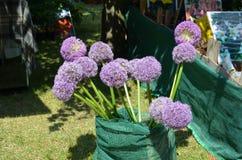Cipolla ornamentale (giganteum dell'allium) Fotografia Stock