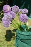 Cipolla ornamentale (giganteum dell'allium) Fotografia Stock Libera da Diritti