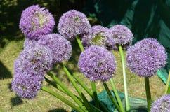 Cipolla ornamentale (giganteum dell'allium) Fotografie Stock Libere da Diritti