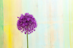 Cipolla ornamentale Violet Showy Flower Head dell'allium fotografia stock