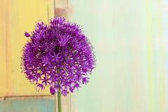 Cipolla ornamentale Violet Showy Flower Head dell'allium fotografie stock