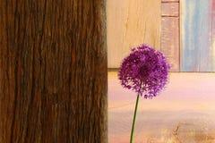 Cipolla ornamentale Violet Showy Flower Head Driftwood dell'allium Immagini Stock Libere da Diritti