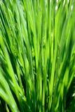 Cipolla in primavera Fotografia Stock Libera da Diritti