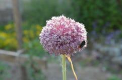 Cipolla selvatica rosa con il bombo Fotografie Stock Libere da Diritti