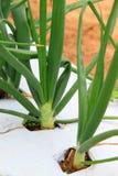 Cipolla verde Fotografie Stock Libere da Diritti