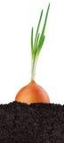 Cipolla verde nella terra fotografia stock libera da diritti