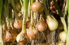 Cipolle che appendono per asciugarsi. Fotografia Stock