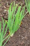 Cipolle crescenti fotografia stock libera da diritti