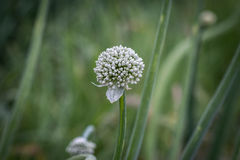 Cipolle del fiore della freccia Fotografia Stock Libera da Diritti