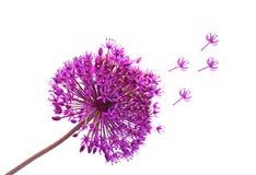 Cipolle del Ornamental di Alliums Immagine Stock Libera da Diritti