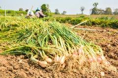 Cipolle del raccolto Fotografie Stock Libere da Diritti