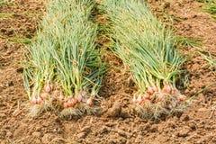 Cipolle del raccolto Immagini Stock Libere da Diritti