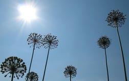 Cipolle delle inflorescenze contro il cielo blu. Immagini Stock
