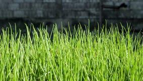 Cipolle di inverno, verdure raccolte nel giardino fotografia stock libera da diritti