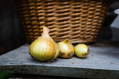Cipolle dorate appena raccolte immagine stock