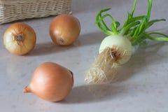 Cipolle gialle e cipolle verdi sulla tavola Fotografia Stock