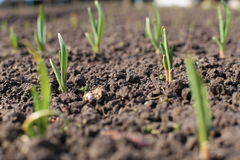Cipolle nel giardino Immagine Stock