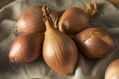Cipolle organiche crude dello scalogno Fotografia Stock