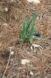 Cipolle selvatiche nella foresta di conifere Fotografie Stock Libere da Diritti