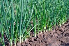 Cipolle verdi che crescono nel giardino immagine stock libera da diritti